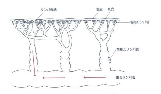 皮膚とリンパ管