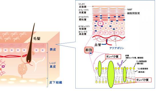 細胞膜のたんぱく質