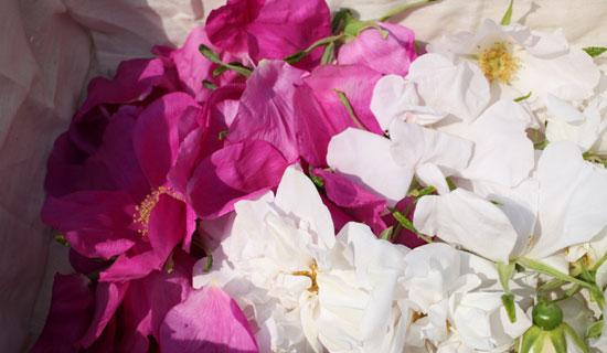 長野県無農薬栽培のバラ