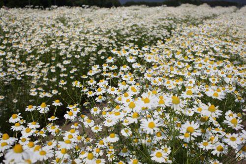 長野県カモミール畑