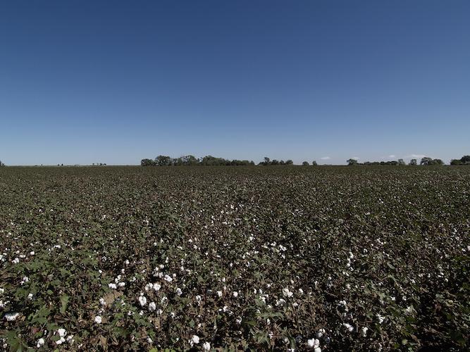 枯れ葉剤を使用していないコットン畑