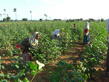 インドのコットン栽培