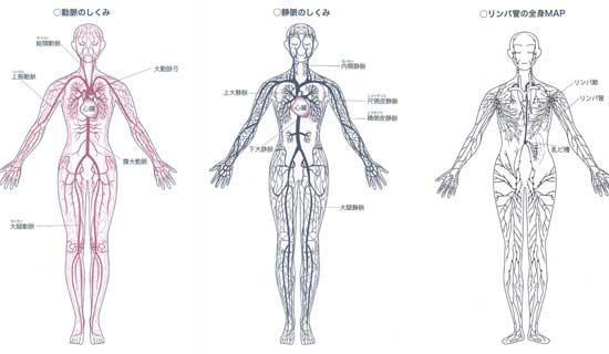 動脈と静脈リンパ管