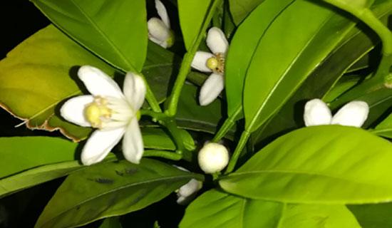 心地よい香りのお花